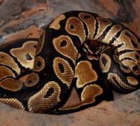 royal_python_snake_w520